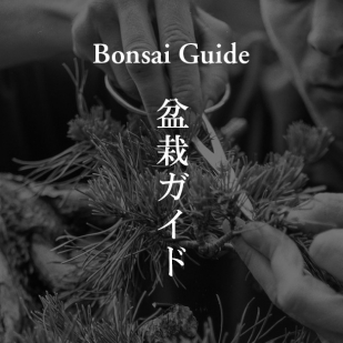 bonsai gude
