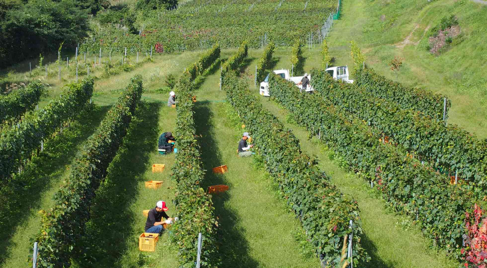 Nagano Villadest Winery Harvesting