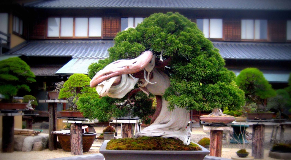 A tree by bonsai master KOBAYASHI Kunio, Peter Warren's teacher. Image © Kobayashi Kunio